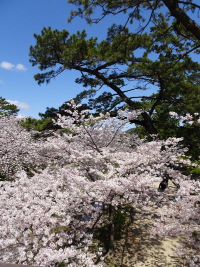 通りがけの満開桜