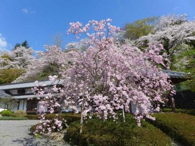 枝垂れ桜めぐり !  五條市・吉野郡下市町
