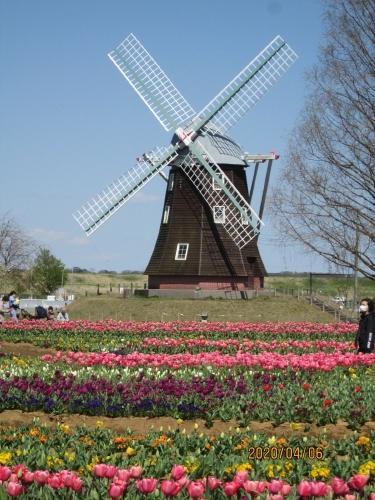 柏市のあけぼの山農業公園・チューリップ・20年4月