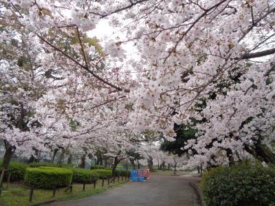 鶴舞公園の桜です〈1〉