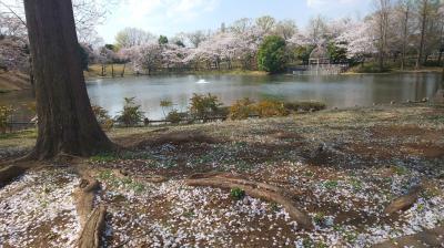 意外に長く楽しめた近所の公園の桜景色の変遷~散歩しながらスマフォで撮影