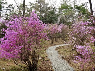 コバノミツバツツジが見頃の三木山森林公園