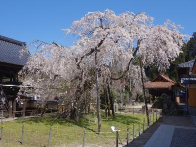 稲武の「瑞龍寺のしだれ桜」を見て来ました。樹齢400年。県指定の天然記念物です。