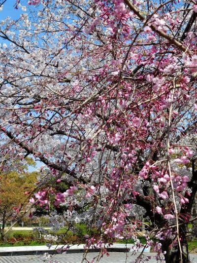 2020年4月 山口県・山陽小野田市 須恵健康公園に花見に行きました。