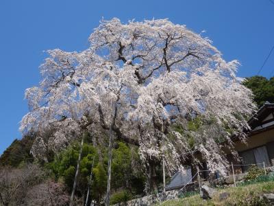 稲武の「大安寺のしだれ桜」を見て来ました。樹齢250年。豊田市指定の天然記念物です。