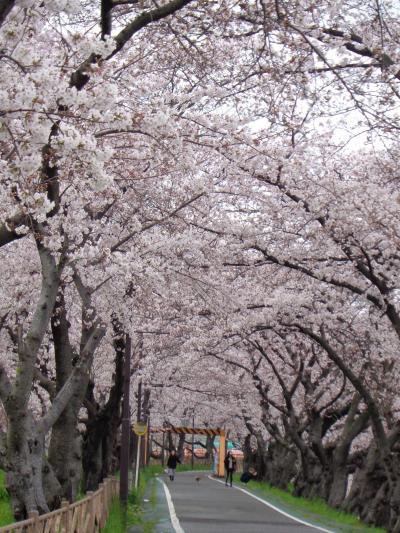 清州城の桜です〈2〉