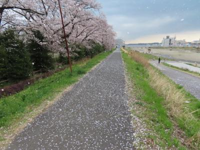 浅川土手の桜 八王子 2020/03/28