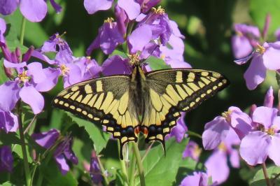 森のさんぽ道で見られた蝶⑨キアゲハ、ナミアゲハ、ヒメアカタテハ、ツマキチョウ他
