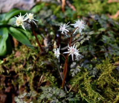 春の山野草探しに星野町へ 極小の花、セツブンソウ おまけの星野遺跡
