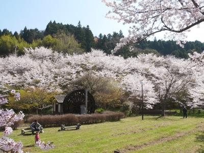 桜を求めて国東路をドライブ