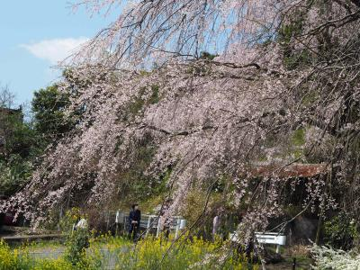Sakura Tour 2   石打神原 宮島 広島市内