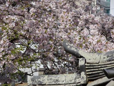 桜と秘仏の紀三井寺へ