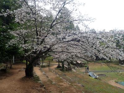 山桜を見つけに