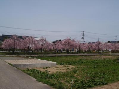 返すゝも残念な枝垂れ桜の桜並木(喜多方市・日中線記念自転車歩行者道)