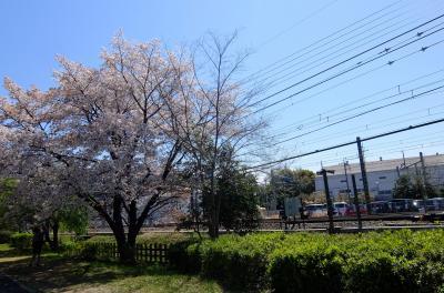 東村山市・桜散りゆく萩山四季の森公園~病院の合間の時間に