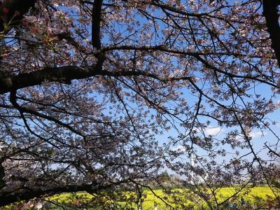 令和初の桜をみに。   沖縄:八重岳  舞浜ディズニーシー   幸手:権現堂桜堤