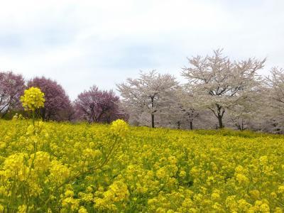赤城南面千本桜とぐりーんふらわー牧場