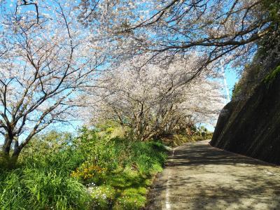 国府津の桜並木散歩
