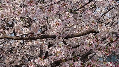 伊丹市鴻池地区から天神川を遡り最後は荻野地区の花見をして帰りました その1。