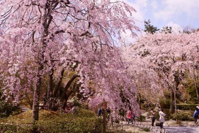 桜色の京都をまったり過ごす。2020京都③