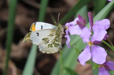 森のさんぽ道で見られた蝶⑩スジグロシロチョウ、ツマキチョウ、ルリタテハ、キチョウ