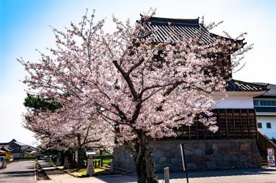 暘谷城の桜 2020