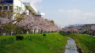 伊丹市鴻池地区から天神川を遡り最後は荻野地区の花見をして帰りました その2。