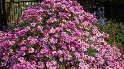 伊丹市鴻池地区から天神川を遡り最後は荻野地区の花見をして帰りました その3。