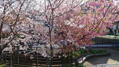 伊丹市鴻池地区から天神川を遡り最後は荻野地区の花見をして帰りました その4。