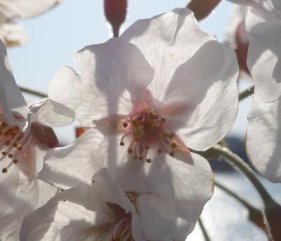 新海池(にいのみいけ)公園の桜は満開。のんびりとお花見しながら,現代の課題を考えました。
