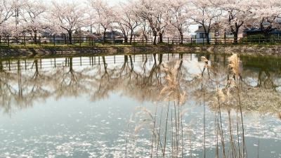 桜は散り際が一番美しい・・・
