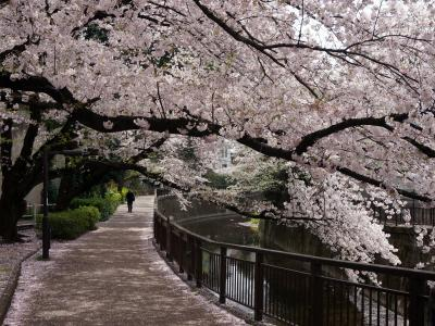 私の散歩道・桜咲く(世田谷区砧)