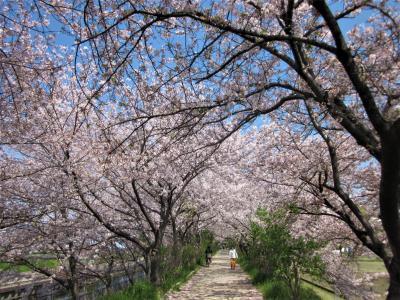 大阪・高槻は春爛漫 桜満開の三島・玉川の里をぶらぶら歩き旅