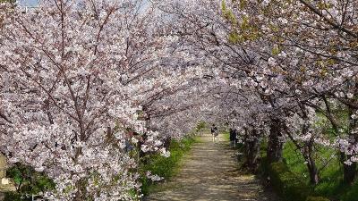 伊丹市鴻池地区から天神川を遡り最後は荻野地区の花見をして帰りました その5。