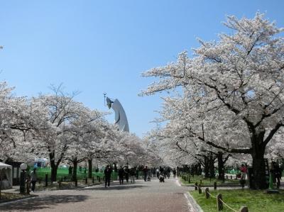 「新型コロナ・ウイルス」で行動自粛中、大阪万博記念公園・自然文化園で、「桜三昧の一日」を過ごす。(2020)