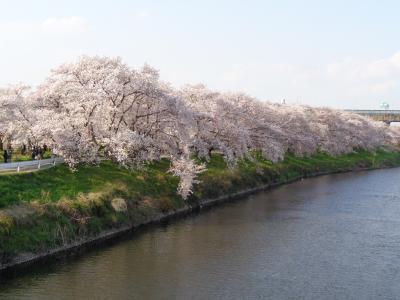 清州城の桜です〈3〉