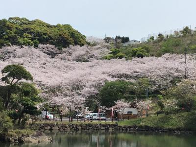 観音ヶ池市民の森の桜が満開なので行って見ました