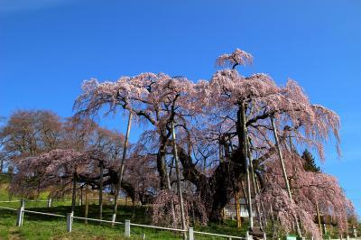 ◆新型コロナ緊急事態宣言日に美しく咲き誇る日本三大桜『三春滝桜』