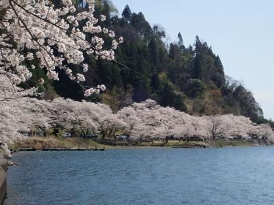 ビワイチ で海津大崎の桜 自動車やけど・・・