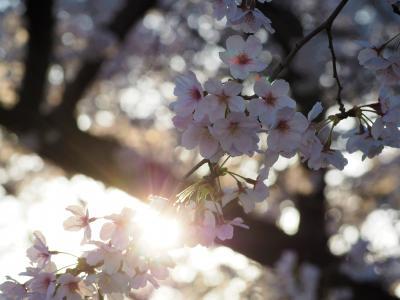 今年は青春18きっぷで関西方面の桜を愛でられないので近場でお花見[2]佐野・足利