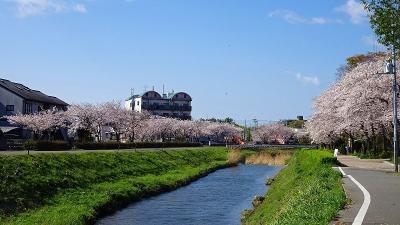 伊丹市の十六名公園へしだれ桜を観に行きました その3。