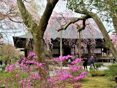 COVID-19対策の自主隔離を終えて☆京都最終日-3. 天龍寺で桜見物