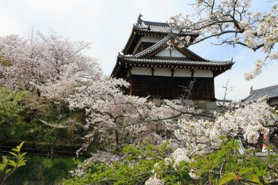 大和郡山市の郡山城跡の桜