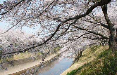 桜ウオーク  新境川から境川へ
