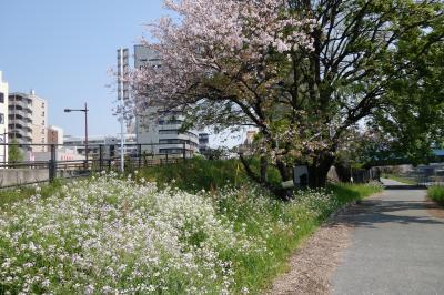 20200410-1 熊本 宿でケッタマシン借りて、白川ちゃりんぽみちへ