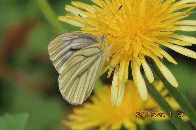 森のさんぽ道で見られた蝶⑪スジグロシロチョウ、ルリタテハ、モンシロチョウ