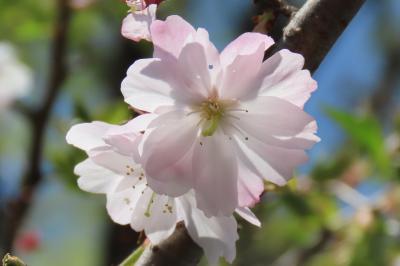 今年最後の十月桜