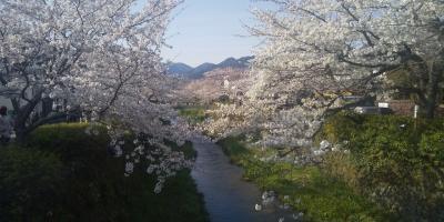 山口の桜散歩