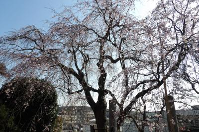 来年の花見は枝垂れ桜の桜並木で