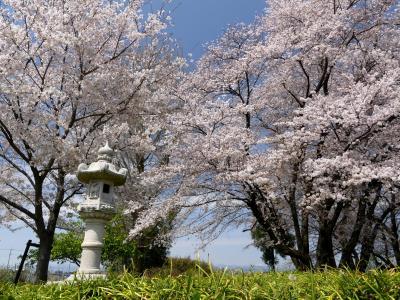 「恩林寺」のサクラ_2020_4月3日:散り始めましたが未だ綺麗です。(群馬県・邑楽町)